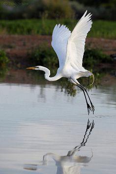 I love egrets and herrons