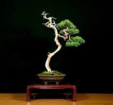Welcome to our Bonsai gallery, full of masterpiece Bonsai trees. Bonsai Wire, Bonsai Tools, Bonsai Plants, Bonsai Garden, Japanese Dragon, Japanese Art, Ikebana, Bougainvillea Bonsai, Weird Trees