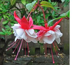White Fuschia Flower