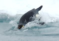 An emperor #penguin dives into the frigid Antarctic water. Emperors can dive as deep as 1,800 feet (550 meters) on a single breath of air that can last up to 20 minutes. Emperor penguin studies is just one example of the many research projects supported by the NSF's U.S. Antarctic Program.  [Photo credit: Glenn Grant, NSF]