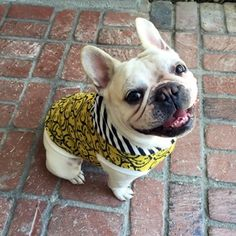 frenchie clothes