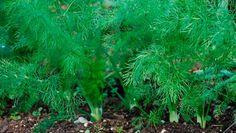 Muchos han visto esta planta, otros la pasan por alto; pero no deberías de hacer esto, pues esta planta es la que los doctores no quieren que conozcas, pero sobre todo la cultives en tu casa, pues esta posee tantos beneficios que no tendrías que ir a sus consultas. Esta se conoce como…