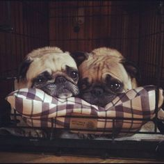 Snuggly pugs.  Could be Frankie n Otis. That is if Otis ever slowed down. #pug
