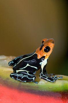 Ranitomeya fantastica by Brad Wilson on Flickr - Poison dart frog