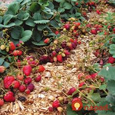 6 Awesome Reasons Why You Should Grow Your Own Strawberry Plants Strawberry Fields, Small Farm, Outdoor Plants, Vegetable Garden, Good To Know, Gardening Tips, Berries, Seeds, Fruit