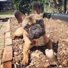Little Reggie, French Bulldog Puppy