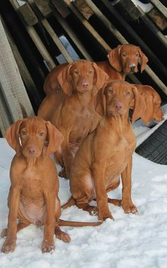 Beautiful Dogs, Animals Beautiful, Animals And Pets, Cute Animals, Vizsla Puppies, Vizsla Dog, Cute Dogs And Puppies, Doggies, Dogs