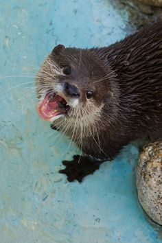 Otters are so cute they don't need manners like not chewing with your mouth open - April 5, 2018
