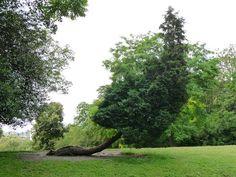 Grand conifère au tronc couché dans le parc des Buttes-Chaumont en début d'été, Paris 19e (75)