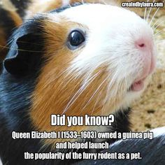 Queen Elizabeth I owned a guinea pig and helped launch the popularity of the furry rodent as a pet. Baby Guinea Pigs, Guinea Pig Care, Pet Pigs, Baby Pig, Baby Goats, Cute Funny Animals, Cute Baby Animals, Wombat, Raising Farm Animals