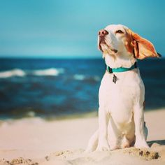Roll on the #Cornish #heatwave! This #puppy is thoroughly enjoying his day on the #beach. Find this summery image and more on our #June #Pinterest board.