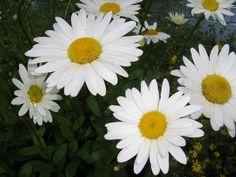 Daisy's my favorite flower............pic taken in WA