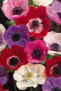 anemone, fun with the black center. Exotic Flowers, Amazing Flowers, Beautiful Flowers, Anemone Flower, My Flower, Ranunculus Flowers, Pink Peonies, Quotes Pink, Flower Meanings