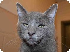 """This sweet boy is DUSTY.  He has that suave little look that says, """"Take me home and I will be your new furry friend"""".  DUSTY is available for adoption at the Contra Costa Animal Services in Martinez, CA.  Won't you please continue to network & share so we may find DUSTY a forever home."""