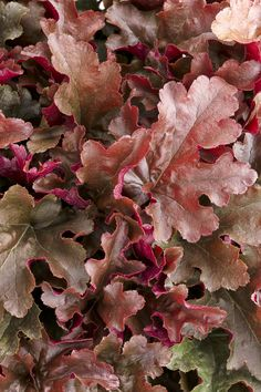 DOLCE® CINNAMON CURLS (Heuchera hybrid): A 2014 introduction from ProvenWinners.This classic perennial heuchera has a neat, compact habit with bright magenta ruffled leaves. Works well in part sun to shade. Garden Shrubs, Shade Garden, Garden Plants, White Plants, Colorful Plants, Tropical Plants, Coral Bells Heuchera, Bell Gardens, Foliage Plants