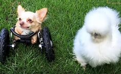 Daily Cute: Silkie Chicken Befriends Dog in Wheelchair, http://www.care2.com/causes/daily-cute-silkie-chicken-befriends-dog-in-wheelchair.html