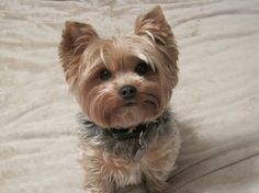 My little man.  Spencer Duffy-Wolske (yorkie, Yorkshire Terrior, Puppy)