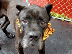 TO BE DESTROYED MON., - 11/17/14 Manhattan Center  GARETH - A1019456   MALE, BLACK / WHITE, CANE CORSO MIX, 9 yrs STRAY - ONHOLDHERE, HOLD FOR ID Reason STRAY
