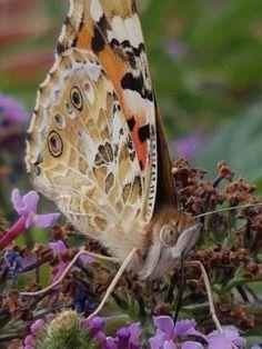 Papillon Migrateur : La Belle-Dame ou Vanesse des chardons, (Vanessa cardui).