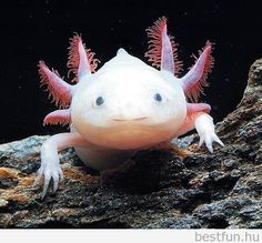 3. Own an Axolotl. They are the coolest, strangest, most adorable animal I've ever seen, and I would love to have one of my own!