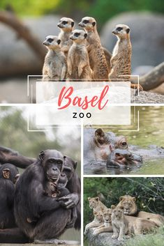 """The Zoological Gardens, known affectionately as """"Zolli"""" by Basel's inhabitants, opened in Basel in 1874 and is home to a large number of indigenous and exoti. Exotic Animals, Exotic Pets, Zoological Garden, Basel, Gardens, Number, Spring, Activities, Switzerland"""