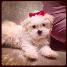 Maltese puppy Duchess x