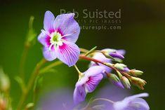 Streamside Hebe flowers (Parahede catarractae), New Zealand (NZ).
