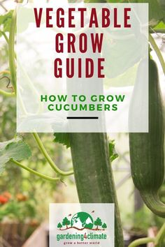 Growing Cucumbers is quite easy and well worth it. Garden Tips on how to grow the healthiest cucumber plants and the best cucumber varieties. Home Grown Vegetables, Fall Vegetables, Planting Vegetables, Organic Vegetables, Growing Vegetables, Growing Tomatoes, Organic Gardening, Gardening Tips, Sustainable Gardening
