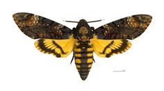 Death's-Head Hawkmoth..not a bee...but bee like and cool
