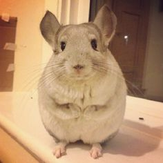 They're just so darn fluffy… | Community Post: 10 Reasons Chinchillas Are Super Cute