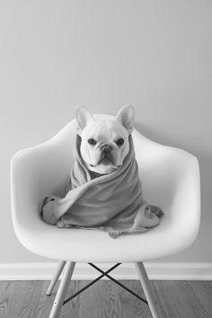 Theo, the French Bulldog, #theobonaparte on Instagram