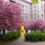 Historien om Berlins 9.000 japanske kirsebærtræer