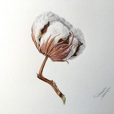 flowers for filifionka_olya Watercolour Drawings, Botanical Drawings, Botanical Art, Botanical Illustration, Watercolor Flowers, Watercolor Paintings, Art Drawings, Watercolor Ideas, Cotton Painting