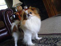 Japanese Chin   Piebald Puppies Blog