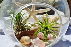 """Beach Terrarium with White Coral - 2 Air plants - Sand and Shells - Driftwood - 7"""" Glass Round Globe - Beach -  Home Decor - Gift idea on Etsy, $49.95   I want this so bad!"""