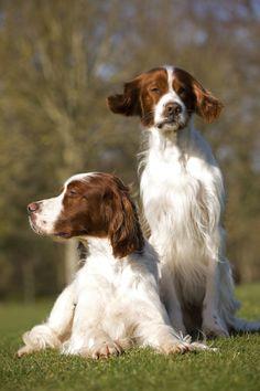 #chien #Setter Irlandais