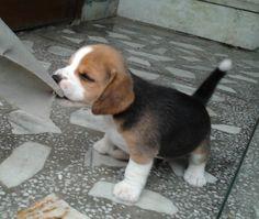 Cute Beagle puppy.