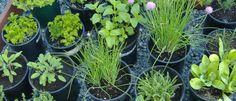 Top 10 Best & Easiest Herbs to Grow in Your Garden (And How to Use Them) Simple herb garden instructions with uses for each item. Grow in doors or outside. Never thought of using thyme as ground cover in flower beds, but it would be great. Container Gardening, Gardening Tips, Organic Gardening, Kitchen Gardening, Vegetable Garden, Garden Plants, Gardening Vegetables, Shade Garden, Best Herbs To Grow