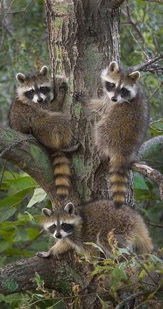 """A Raccoon Family: """"Triple Trouble! Forest Animals, Nature Animals, Woodland Animals, Animals And Pets, Strange Animals, Raccoon Family, Cute Raccoon, Racoon, Beautiful Creatures"""