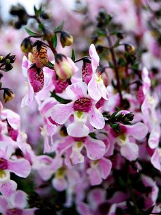 Angelonia 'Pinstripe Pink' is ideal for window boxes and hanging baskets.