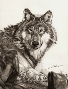 Lying Wolf by ~AmBr0 on deviantART