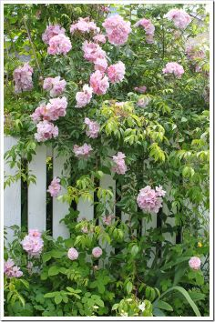 Rose flowing over the picket fence