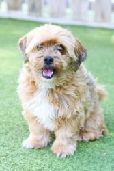 Cody is an adoptable Cockapoo Dog in Charlotte, NC. Cody is a 6 year old cock a poo or lasa poo? He's adorable & a low/non shedder. He would love a home with empty nesters or a family with older kids....
