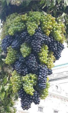 lots of grapes Fruit Plants, Fruit Garden, Fruit Trees, Vegetable Garden, Vegetable Meals, All Fruits, Healthy Fruits, Fruits And Vegetables, Organic Vegetables