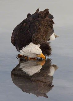 A vertical image of an American Bald Eagle and it's reflection while drinking water on the surface of the icy ground near Kachemak Bay, Alaska: