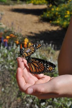 How to Tag Butterflies by thegardenroofcoop #Butterflies #Conservation