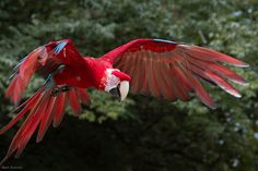 Here is a list of the most amazingly beautiful red-colored animals in the world you need to see, like red panda, Siamese Fighting Fish, scarlet ibis etc. Cincinnati Zoo, Siamese Fighting Fish, Kinds Of Birds, Red Panda, Animals Of The World, Science And Nature, Colour Schemes, Animal Kingdom, Pet Birds