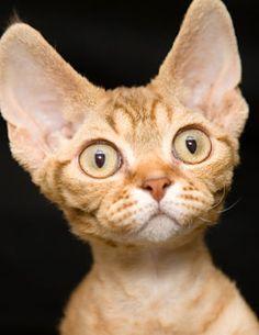 The Devon Rex Cat - Cat Breeds Encyclopedia Cute Cats And Kittens, I Love Cats, Crazy Cats, Cool Cats, Gatos Devon Rex, Devon Rex Cats, Pretty Cats, Beautiful Cats, Devon Rex Katzen
