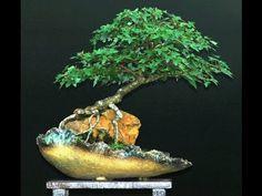 Bonsai Art, Bonsai Garden, Bonsai Trees, Ficus, Ancient Japanese Art, Fruit Trees, Japanese Gardens, Biscuit, Google