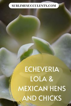 The Echeveria lola or Mexican Hens and Chicks is one of the most iconic Echeveria. Find out more about this succulent species on this pin! #succulents #indoorgardening #outdoorgardening #gardeningtips #echeveria Succulent Arrangements, Cacti And Succulents, Cactus Plants, Succulent Species, Cactus Care, Mother Plant, Succulent Care, Hens And Chicks, Glazes For Pottery